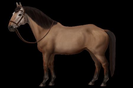 Latvian Riding Horse